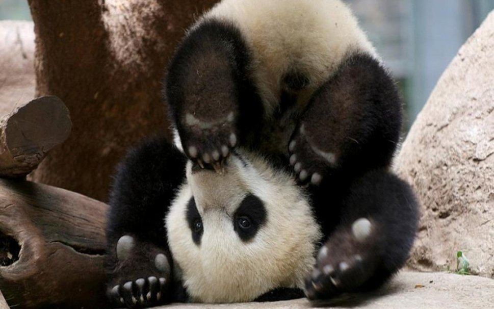 baby panda bears